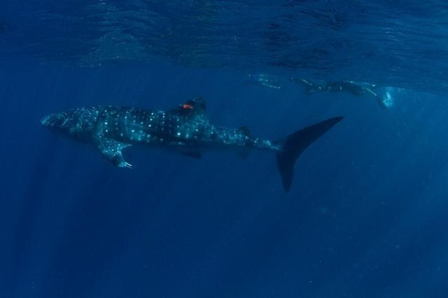Whale shark, Ningaloo Reef