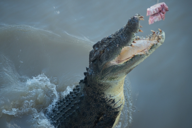 Jumping crocodile, Adelaide river