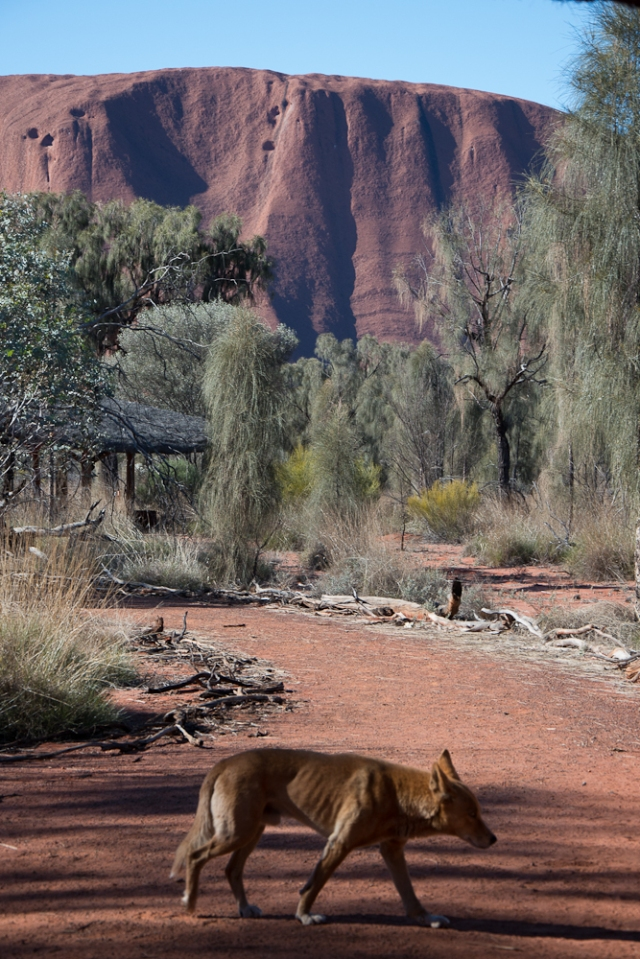 A dingo looking for a feed at Uluru