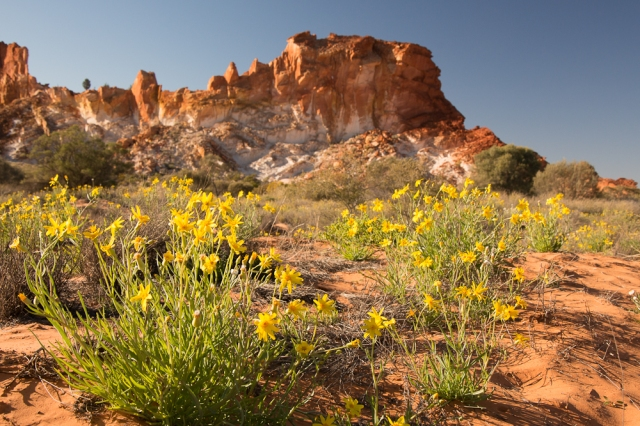 Golden Everlasting Daisies at Rainbow Valley