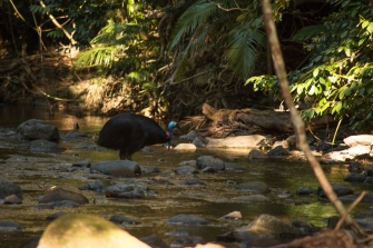 Cassowary, cape tribulation