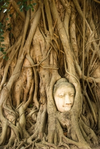 The famous 'Buddha head in a tree""