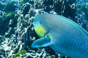 Parrotfish ?