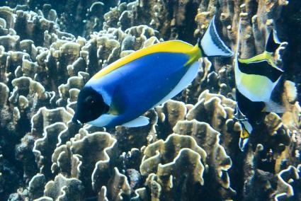 Powder_blue surgeon fish