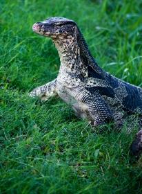 Tyrannosaurus lumphini, aka monitor lizard