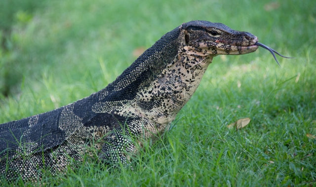 One of the resident monitor lizards of Lumphini park