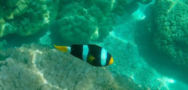Clark's Anenome Fish
