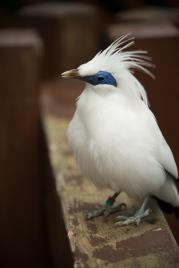 Bali Myna, Hong Kong Park aviary