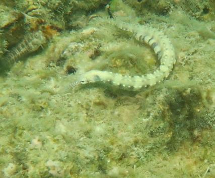 Pipefish ....I think