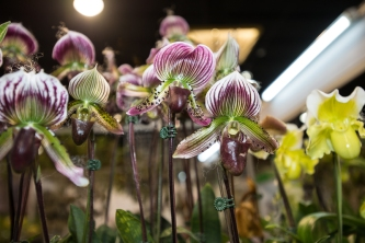 orchid show-16