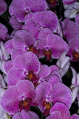 orchid show-19