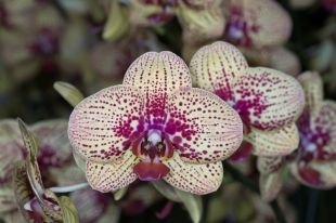 orchid show-9