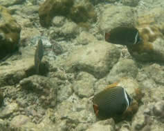 Collared Butterflyfish