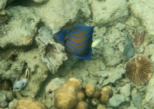 Some sort of Angelfish perhaps ?