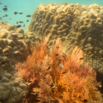 Gorgonian Sea-fan