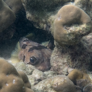 Black-botched Porcupine fish, trying to hide in a coral crevice.