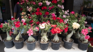 Desert Rose, or Adenium
