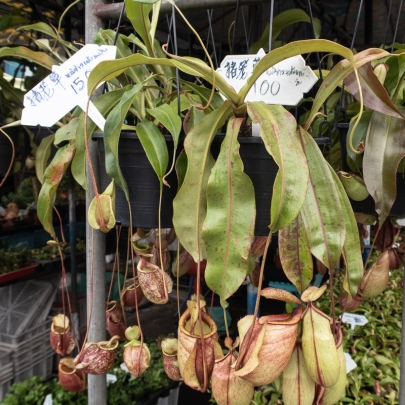 Carnivorous nepenthes