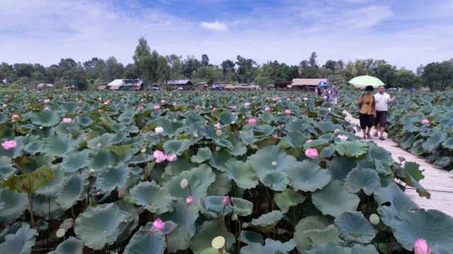 Lotus_field (1 of 9)
